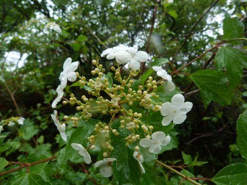 flower white viburnum
