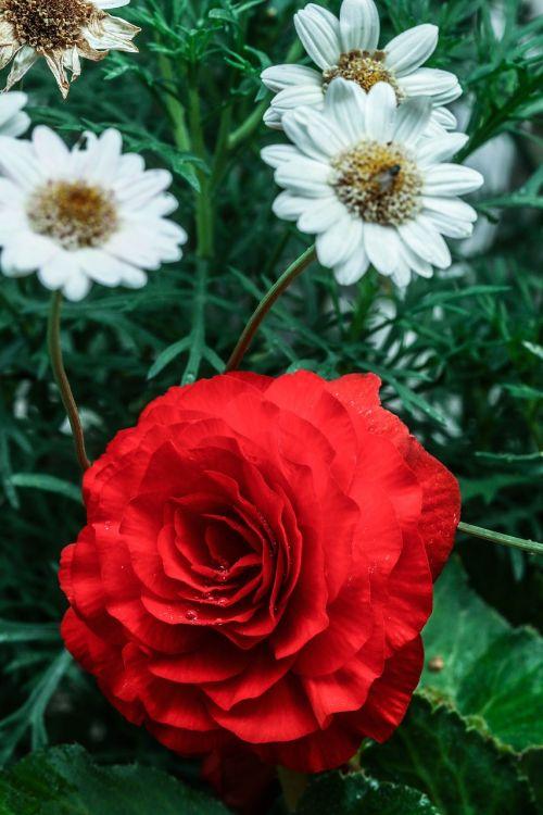 gėlė,rožė,raudona,makro,sodo gėlė