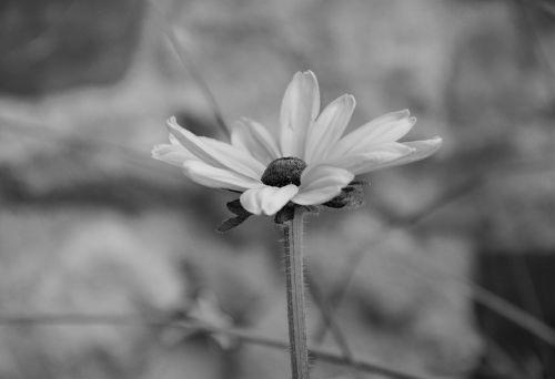 flower photo black white bouquet