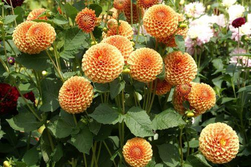 flower peach beautiful flower