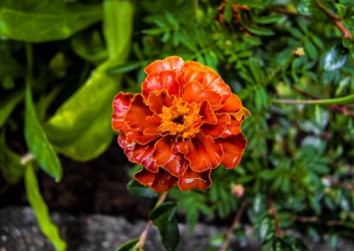 flower tagetes summer