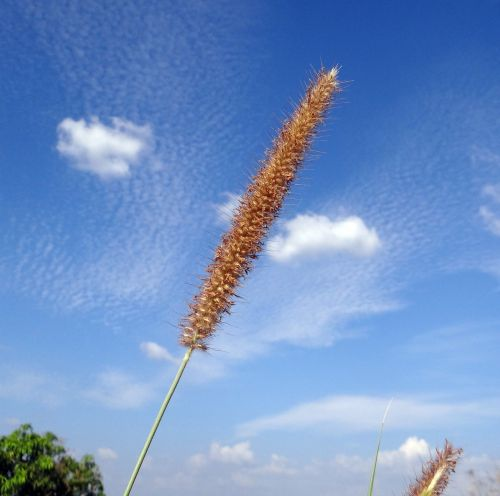 flower grass napier