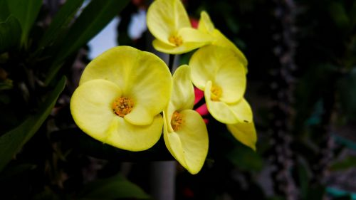flower yellow belize
