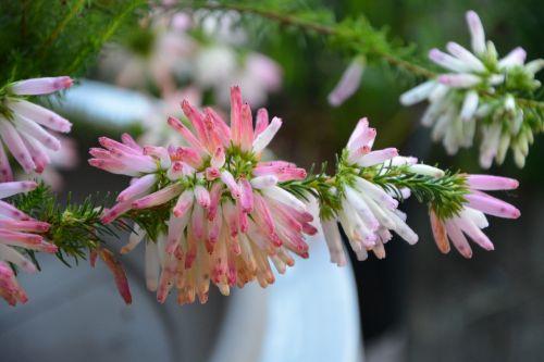 flower érica verticillata pretty