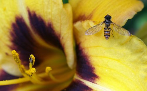 flower insect hover fly