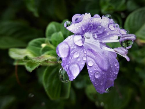 flower mauve raindrops