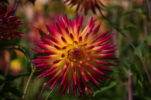 gėlė,gamta,graži gėlė,gamtos gėlė,sodas,žinoma,žiedas,žydėti,gėlės,flora,rožinė gėlė,pavasaris,augalas,geltona gėlė,geltona,raudona