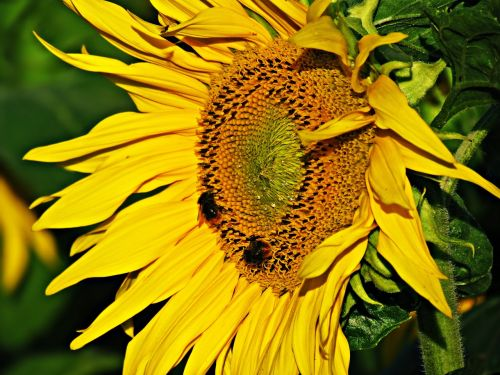 flower sunflower spring