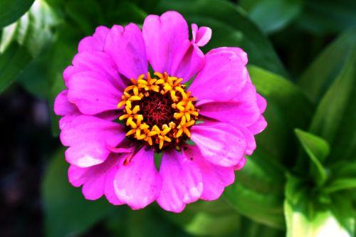 gėlė,korola,flora,rožinis,tuti,žiedlapiai