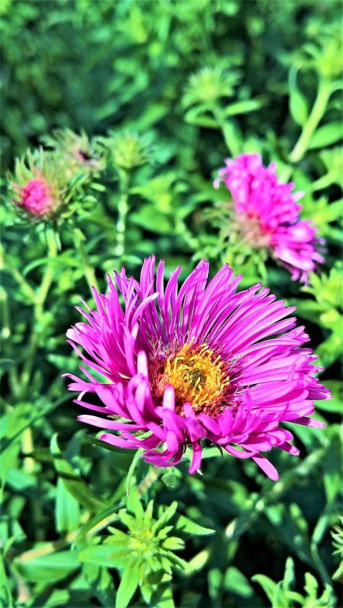 flower herbstaster plant