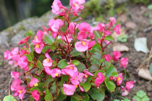 flower pink dew