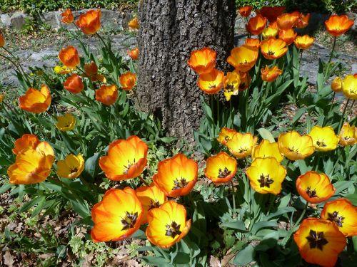 flower garden tulip