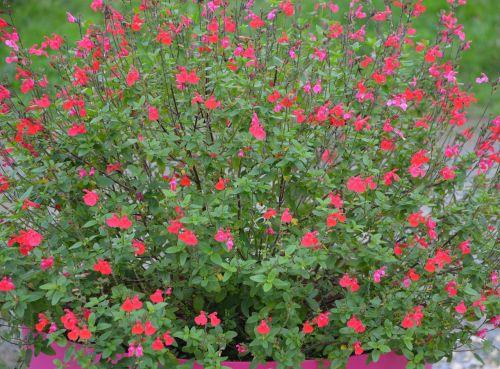 flower sage plant