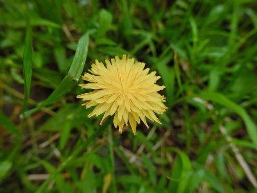 flower dandelion kuhblume