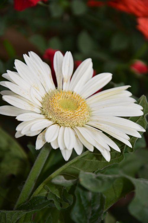 gėlė,marguerite,žiedlapiai,sodas,gamta,gėlių sodas,puokštė,gamtos sodas,balta,balta gėlė,masyvas,botanikos sodas