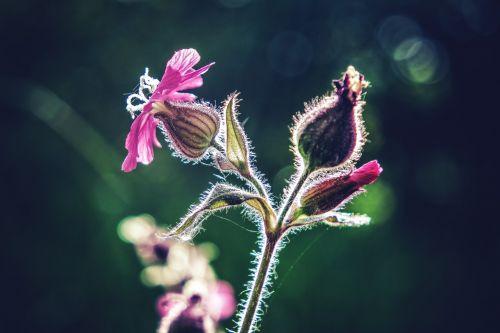 gėlė,makro,gėlių makro,makrofotografija,augalas,violetinė,mėlynas,miškas,Uždaryti,pavasaris,gamta,žiedas,žydėti,sodas,meilė,gražus,harmonija