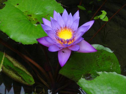 flower violet yellow