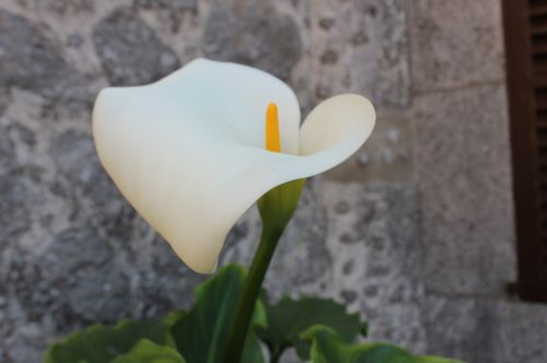 flower cala white