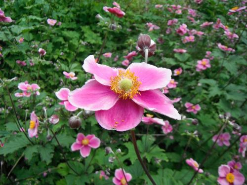 flower pink mannheim