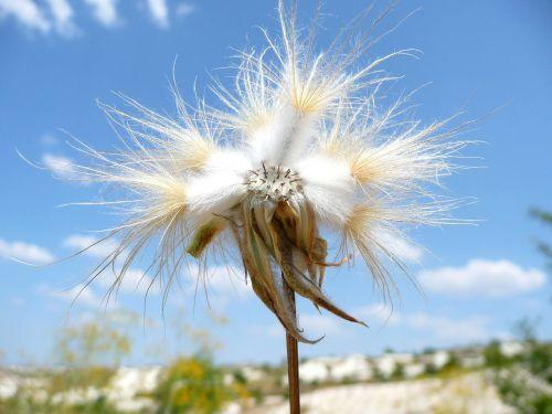 flower hairy white