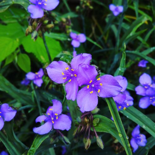 flower widow's tears garden