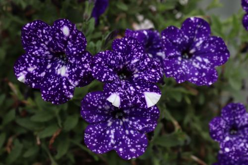 flower petunia color