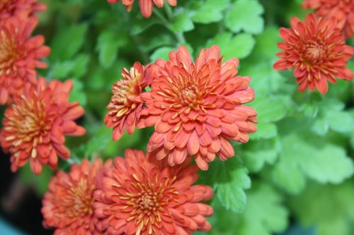 flower red chrysanthemum
