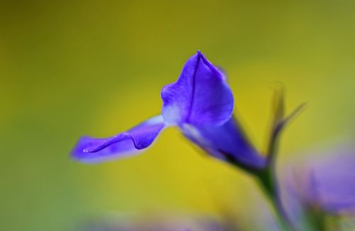 flower blue nature