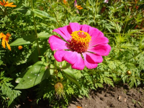 flower magenta bermuda