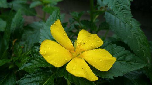 flower yellow dew