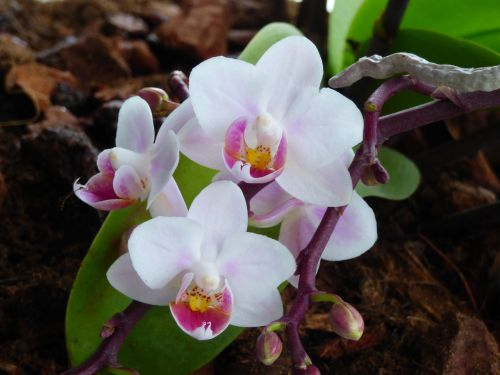 flower cyclamen plant