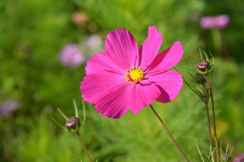 flower pink flower fuschia nature