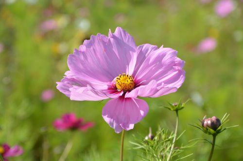 flower pink flower parma nature