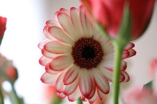flower gerbera focus