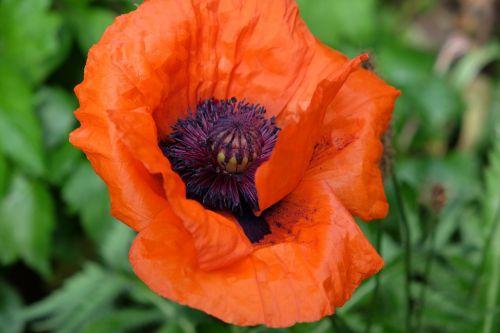 flower poppy garden