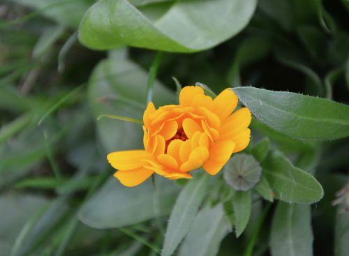 flower petals orange color green leaves