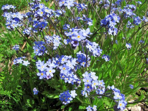 flower myosotis small blue flowers