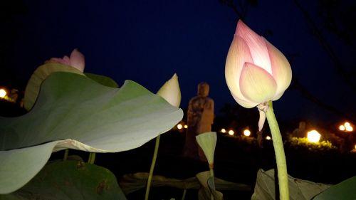 flower lotus flowers lotus