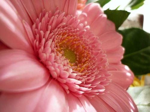 flower gerbera the delicacy