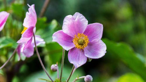 gėlė,žiedas,žydėti,sodas,gamta,augalas,purpurinė gėlė