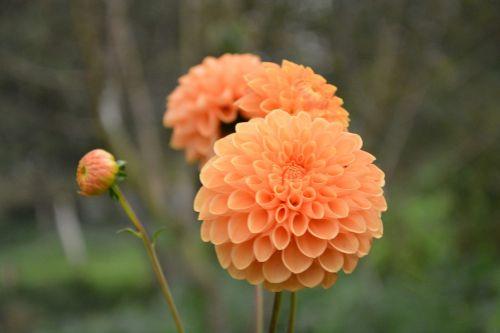 flower pompom color orange