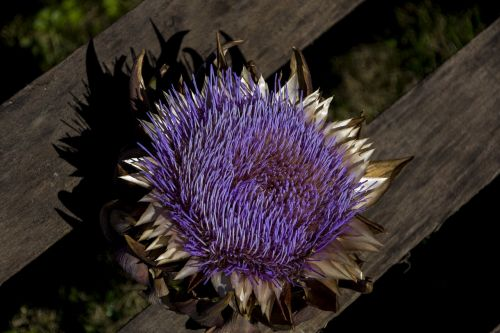flower nature artichoke