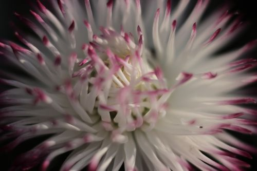 žiedas,žydėti,balta,rožinis,bellis filosofija,pavasaris