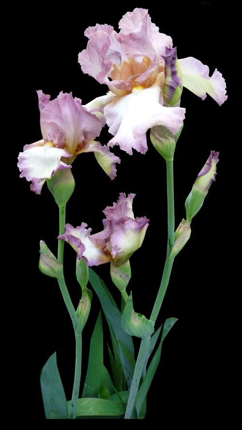 flower iris mauve