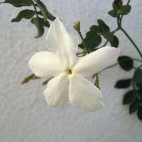 gėlė,jazminas,Kvepalai,gėlių jazminas,baltos gėlės,žiedlapiai,balta