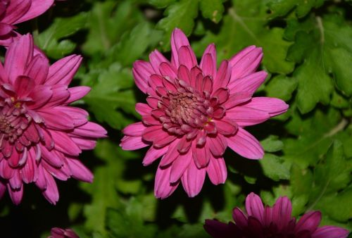 flower flowers dahlia bright pink