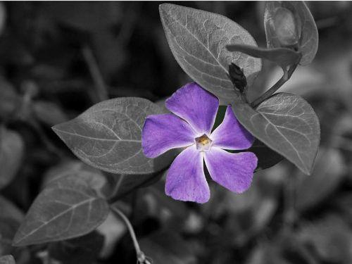 flower wildflower mauve vinca