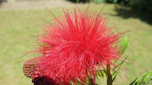 flower tanzania steppe