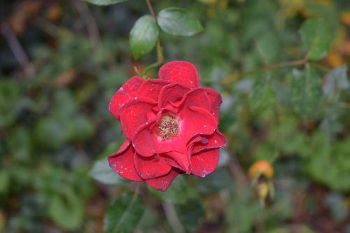 gėlė,mirti,žiedlapis,skilimas,nudrus,gamta,augalas,rožė,sausas,ruduo,nudrus,žiedas,natūralus,raudona,senas