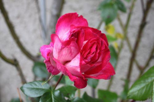 flower rosebush pink